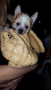 chiński grzywacz szczeniak