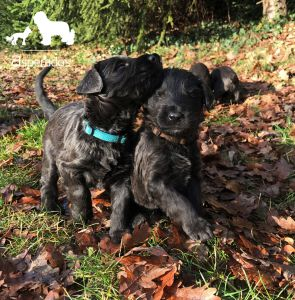 Czytaj więcej: Złota polska jesień i szare szczeniaki owczarka francuskiego
