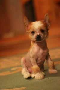 chiński grzywacz hodowla psów