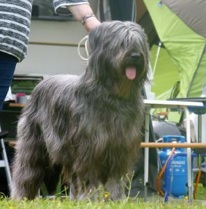 gray briard grey grau