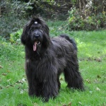 blue briard in uk