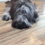 blue briard in us