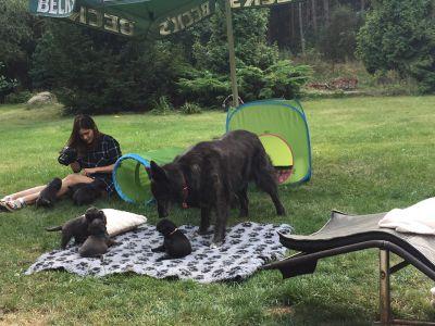 briard szczeniak cena owczarek francuski pies dla dzieci rodziny stróżujący